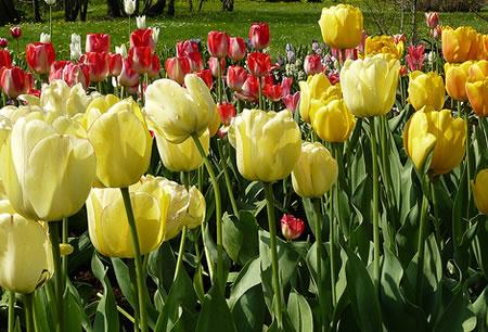 Tulips in Tallinn Botanic Garden