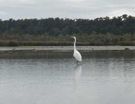 A White Heron welcoming anyone to Okarito Lagoon?