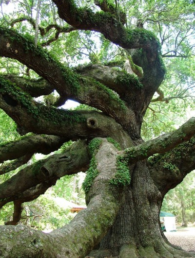 Oak trees are sacred to druids and pagans alike. By Lil Rose (Flickr)