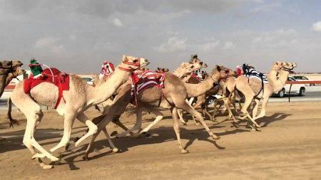 Camel Race of Saudi Arabia
