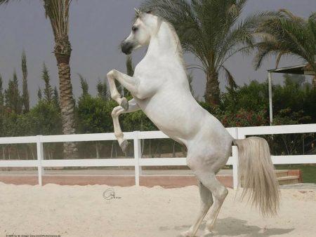 Arabian Horses of Saudi Arabia